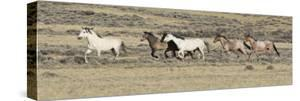 Wild Horses Mustangs, Grey Stallion Leads His Band Trotting, Divide Basin, Wyoming, USA by Carol Walker