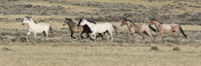 Wild Horses Mustangs, Grey Stallion Leads His Band Trotting, Divide Basin, Wyoming, USA