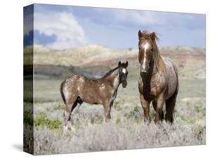 Wild Horses, Red Roan Stallion with Foal in Sagebrush-Steppe Landscape, Adobe Town, Wyoming, USA by Carol Walker