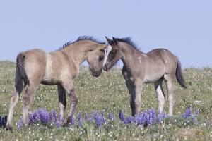 Wild Mustang Foals Among Wild Flowers, Pryor Mountains, Montana, USA by Carol Walker