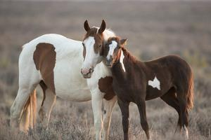 Wild Mustang Pinto Foal Nuzzling Up To Mother, Sand Wash Basin Herd Area, Colorado, USA by Carol Walker