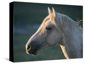 Wild Palomino Stallion, Head Profile, Pryor Mountains, Montana, USA by Carol Walker