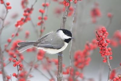 Carolina Chickadee in Common Winterberry Marion, Illinois, Usa-Richard ans Susan Day-Photographic Print