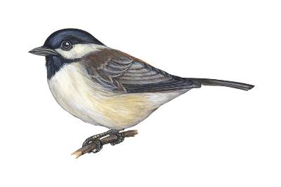 Carolina Chickadee (Parus Carolinensis), Birds-Encyclopaedia Britannica-Art Print