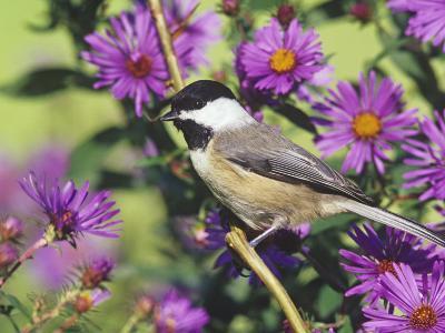 Carolina Chickadee (Poecile Carolinensis) in New England Asters, North America-Steve Maslowski-Photographic Print