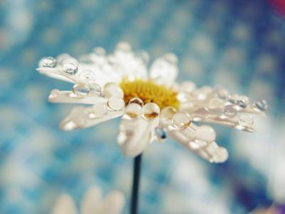 Daisy Flower with Water Droplets on Petals