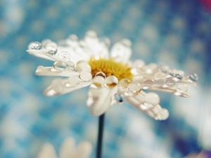 Daisy Flower with Water Droplets on Petals by Carolina Hernández