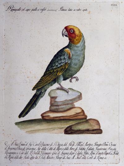 Carolina Parakeet (Conuropsis Carolinensis), Coloured from History of Birds, 1767, Table 121--Giclee Print