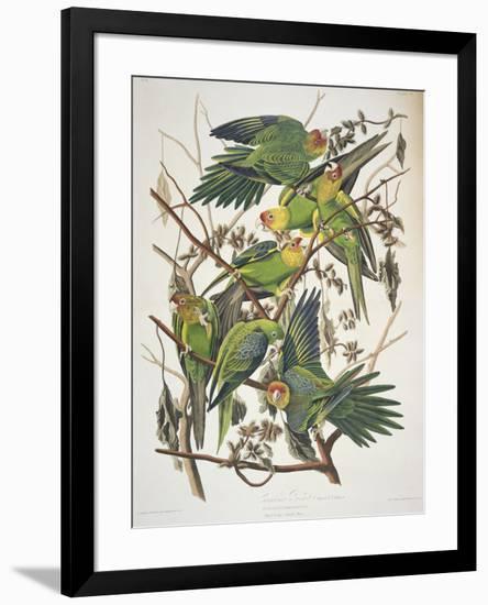 "Carolina Parakeet, from ""Birds of America,"" 1829-John James Audubon-Framed Premium Giclee Print"