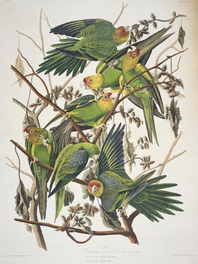 """Carolina Parakeet, from """"Birds of America,"""" 1829-John James Audubon-Giclee Print"""