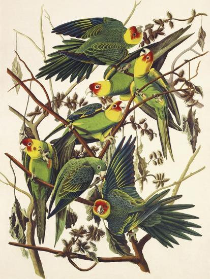 Carolina Parrot-John James Audubon-Art Print