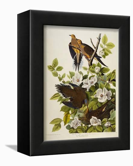 Carolina Turtledove. Mourning Dove,-John James Audubon-Framed Stretched Canvas Print