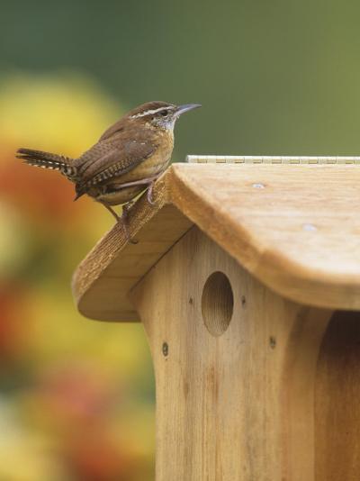 Carolina Wren at its Nest Box or Bird House (Thryothorus Ludovicianus), Eastern USA-Steve Maslowski-Photographic Print