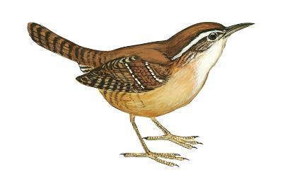 Carolina Wren (Thryothorus Ludovicianus), Birds-Encyclopaedia Britannica-Art Print