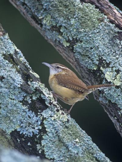 Carolina Wren (Thryothorus Ludovicianus). Eastern USA-Steve Maslowski-Photographic Print