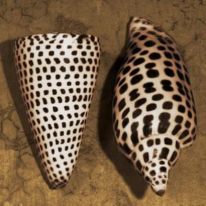 Cone Seashell by Caroline Kelly