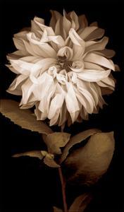 Dahlia I by Caroline Kelly