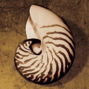 Nautilus by Caroline Kelly