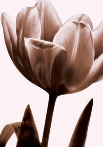 Tulip in Sepia I by Caroline Kelly