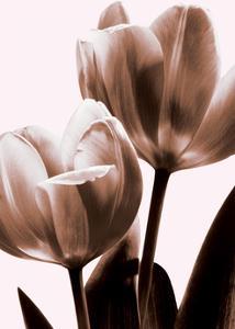 Tulip in Sepia II by Caroline Kelly