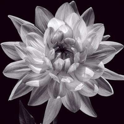 White Dahlia I by Caroline Kelly