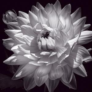 White Dahlia II by Caroline Kelly
