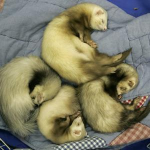 A Pack of Ferrets Clockwise from Top, Chewbacca, Hobart, Dixie B, Wolfgang Amadeaus Motzart by Carolyn Kaster