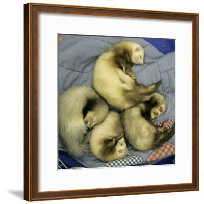 A Pack of Ferrets Clockwise from Top, Chewbacca, Hobart, Dixie B, Wolfgang Amadeaus Motzart