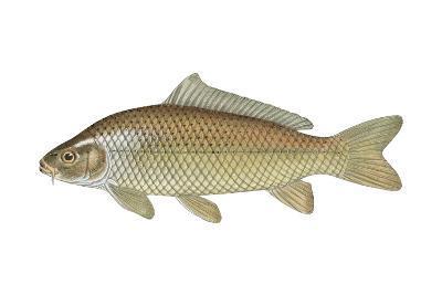 Carp (Cyprinus Carpio), Fishes-Encyclopaedia Britannica-Art Print