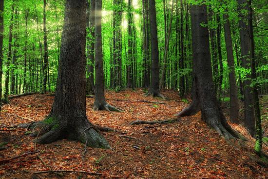 carpathian-forest-in-morning