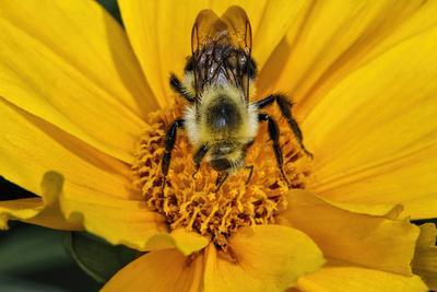 https://imgc.artprintimages.com/img/print/carpenter-bee-collecting-nectar-kentucky_u-l-q13cged0.jpg?p=0