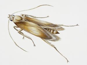 Carpet Moth (Tineola Bisselliella), Tineidae, Artwork by Steve Roberts
