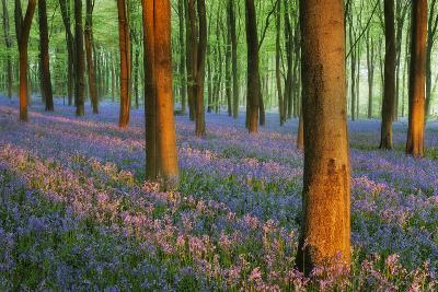 Carpet of Bluebells (Endymion Nonscriptus) in Beech (Fagus Sylvatica) Woodland at Dawn, UK-Guy Edwardes-Photographic Print