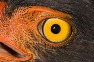 A Slate Colored Hawk, Leucopternis Schistaceus by Carrie Vonderhaar/Ocean Futures Society