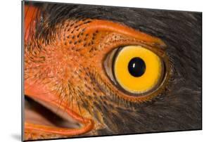 A Slate Colored Hawk, Leucopternis Schistaceus by Carrie Vonderhaar/Ocean Futures Society