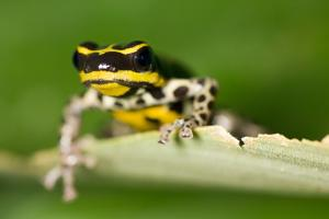 This Strikingly Colored Tree Frog, Ranitomeya Biolat, Is Poisonous by Carrie Vonderhaar/Ocean Futures Society
