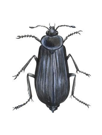 https://imgc.artprintimages.com/img/print/carrion-beetle-silpha-ramosa-insects_u-l-q135ia40.jpg?p=0