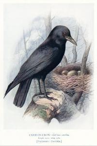 Carrion Crow with Nest