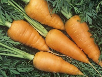 Carrots, Red Cored Chantenay Variety (Daucus Carota)-Wally Eberhart-Photographic Print