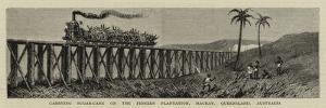 Carrying Sugar-Cane on the Pioneer Plantation, Mackay, Queensland, Australia