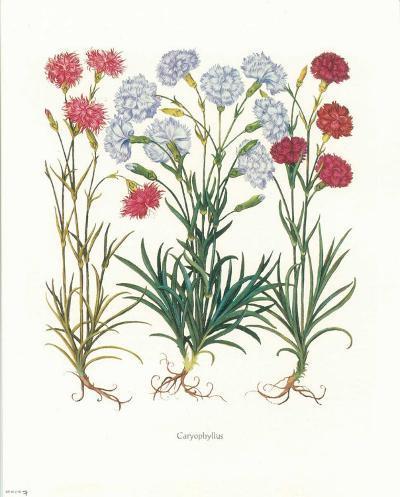 Caryophyllus--Art Print