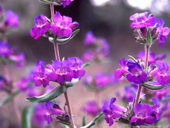 Cascade Penstemon in Painted Hills National Monument, Oregon, USA-Terry Eggers-Photographic Print