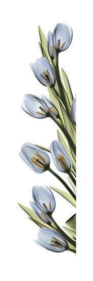 Cascading Tulips-Albert Koetsier-Art Print