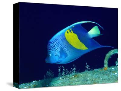 Arabian Angelfish (Pomacanthus Maculosus), Red Sea and Arabian Sea, Egypt