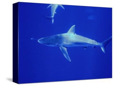 Galapagos Shark (Carcharhinus Galapagensis), Midway Island, USA