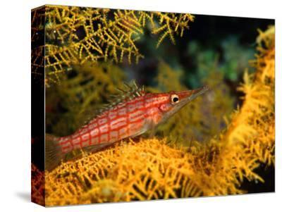 Longnosed-Hawkfish (Oxycirrites Typus), Solomon Islands