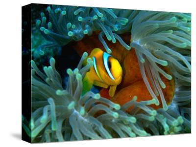 Red Sea Anemonefish(Amphiprion Bicinctus), Red Sea and Gulf of Aden, Egypt