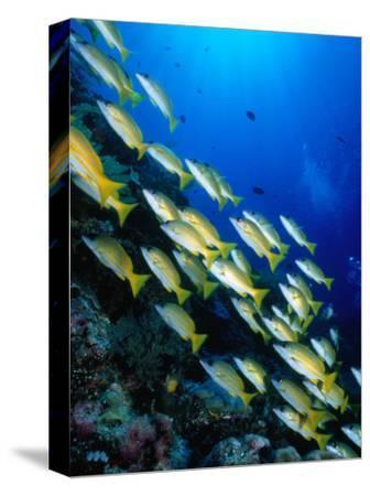 School of Blue Stripe Snappers (Lutjanus Kasmira) at Reef, Palau, Palau