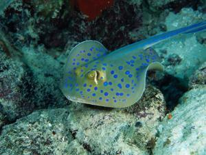 The Blue-Spotted Stingray (Taeniura Lymma), Red Sea, Egypt by Casey Mahaney