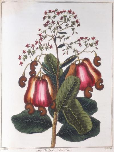 Cashew Nut - Anacardium Occidentale, C1798--Giclee Print